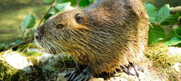 beaver butt - castoreum