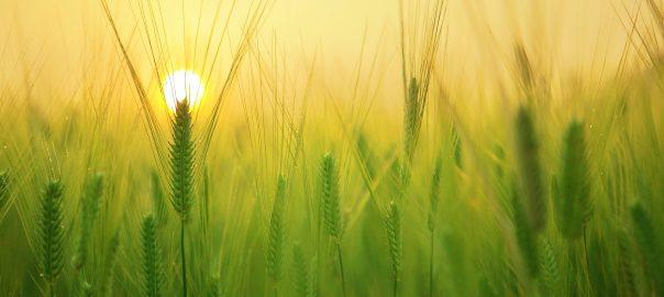 wheat gluten field